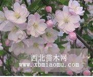 八棱海棠树生长环境