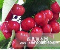 樱桃种子临沂樱花苗价格