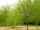 湖南绿化苗木垂柳 杨柳树 湖南浏阳花木垂柳 杨柳树