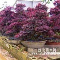 湖南绿化苗木花木红花继木小苗造型红花继木