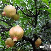 供应安徽怀远优质石榴苗、石榴大树