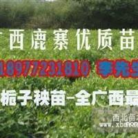 广西鹿寨黄栀子秧苗、水栀子苗木、高产量扦插苗)