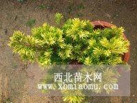 稀世珍品 金叶红豆杉