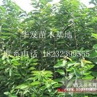 各种樱桃苗1-6公分