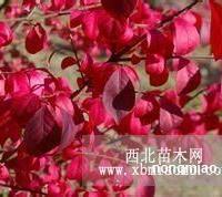 火焰卫矛 花叶挪威槭