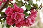 王族海棠,红肉光辉海棠,绚丽海棠,紫叶稠李,红叶李