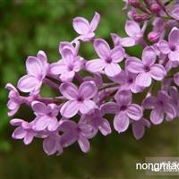 供应紫花大叶丁香,四季丁香