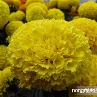 赤峰草花种子,内蒙古草花种子,草花种子价格