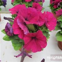 赤峰花种子,花种子价格,赤峰花籽,草花种子