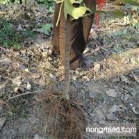 无花果二年苗 根系发达 成活率高 占地用无花果树苗