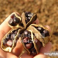 供应中川紫斑牡丹种苗 牡丹种子