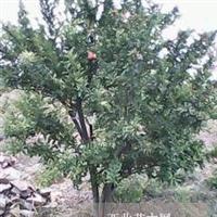 大量出售2-5公分石榴树