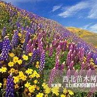 宿根花卉种子,多年生花卉种子,乌鲁木齐花卉