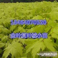 7月特供:金叶复叶槭容器小苗30万棵。1.3元一棵