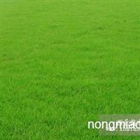 供应草坪,麦冬草,马尼垃