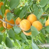 杏树枣树树苗