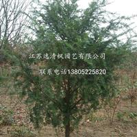 供应红豆杉,量大从优-18052288986