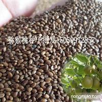 批发猕猴桃种子维C含量高果实种子猕猴梨种子大量批发
