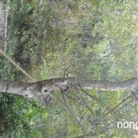 安庆苗木基地出售大规格榆树