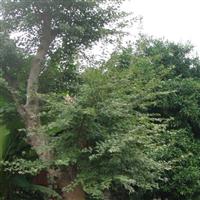 安庆苗木基地出售大规格三角枫