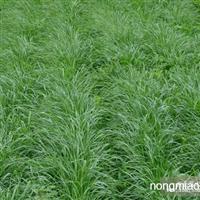 黑麦草种子批发