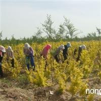大量供应金叶榆、香花槐