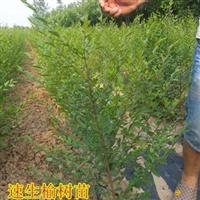 新疆榆树小苗供货商 新疆榆树小苗种植基地供200万株榆树小苗