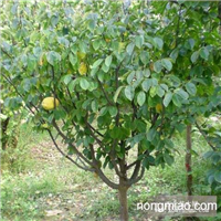 木瓜,木瓜树,降龙木