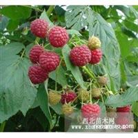 出售树莓苗 黑加仑苗