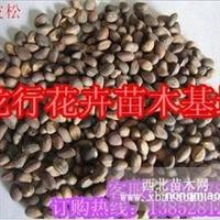白皮松种子价格