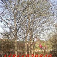 10-15公分皂角树,皂角小苗,皂角种子
