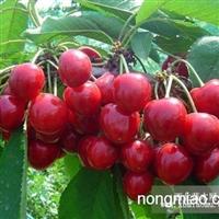 意大利早红大樱桃苗,辽宁大樱桃苗供应商为您服务