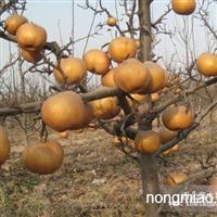 辽宁苹果梨苗,熊岳(300亩梨苗)供应最纯正的苹果梨苗