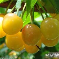 熊岳大樱桃苗纯度100%,来本地采购大樱桃苗给您惊喜价!