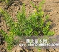 珍稀观赏植物-东北红豆杉
