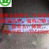 处理北京10公分速生法桐价格