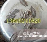江苏优质杜仲种子批发销售