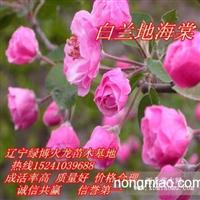 白兰地海棠,皇家雨点海棠,王族海棠,西府海棠,美丽海棠