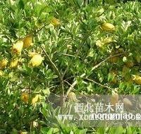 川佛手苗,川佛手盆栽