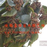 出售拐枣苗(陕西富强苗木园艺场)