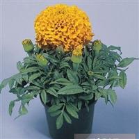 花种,花种批发,购买花种,花种价格