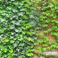 青州常春藤供货商|临朐苗木价格