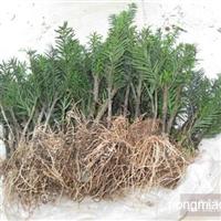 批发红豆杉小苗含一至五年生