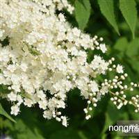 青州绿化苗木珍珠梅