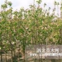 大中小八棱海棠树