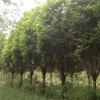 榆树,果树,灌木,白蜡