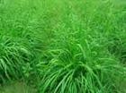 冬牧70黑麦草种子畜牧草坪种子