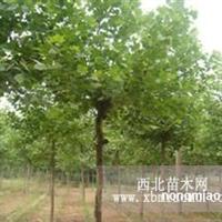 法国梧桐原生植物园绿树掩映环境