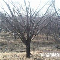绿化大树(山杏树、大扁杏树、大枣树、山楂树、李子树)