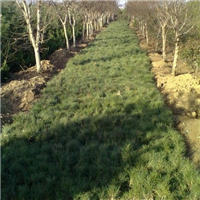 白皮松种子收集的时间,山东白皮松球果9月~10月成熟